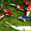 Những kiến thức cần biết khi nuôi cá chép